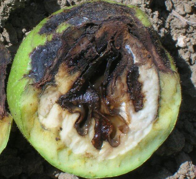 Бактериоз грецкого ореха