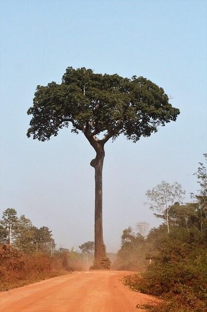 бразильский орех дерево