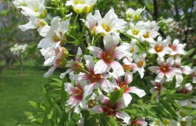 чекалкин орех цветение