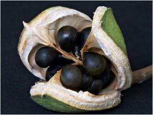 чекалкин орех плоды