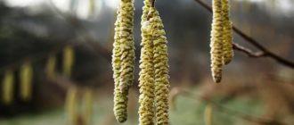 цветение фундука