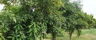 дерево кола