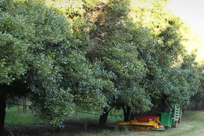 дерево макадамского ореха