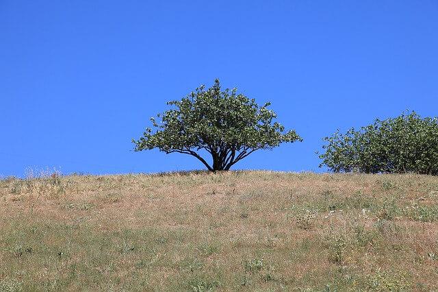 дерево фисташки