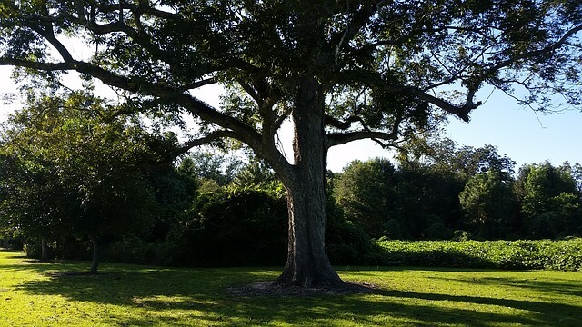 фото дерева ореха пекан