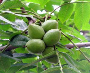 фото маньчжурского ореха