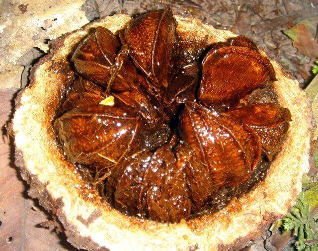 фото плода бразильского ореха