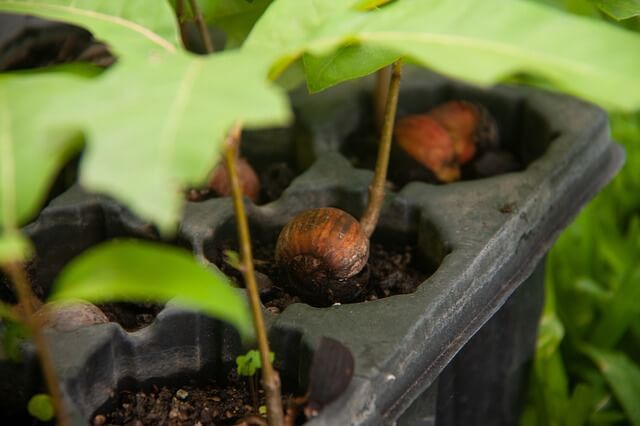 как посадить дуб из желудя дома
