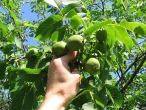Как вырастит грецкий орех в Беларуси