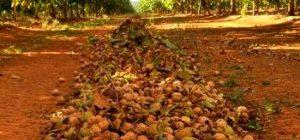 Как вырастить грецкий орех в средней полосе