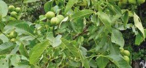Карликовый грецкий орех