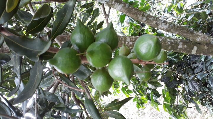 макадамские плоды на дереве