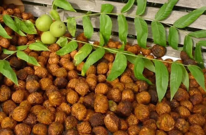 манчжурский орех