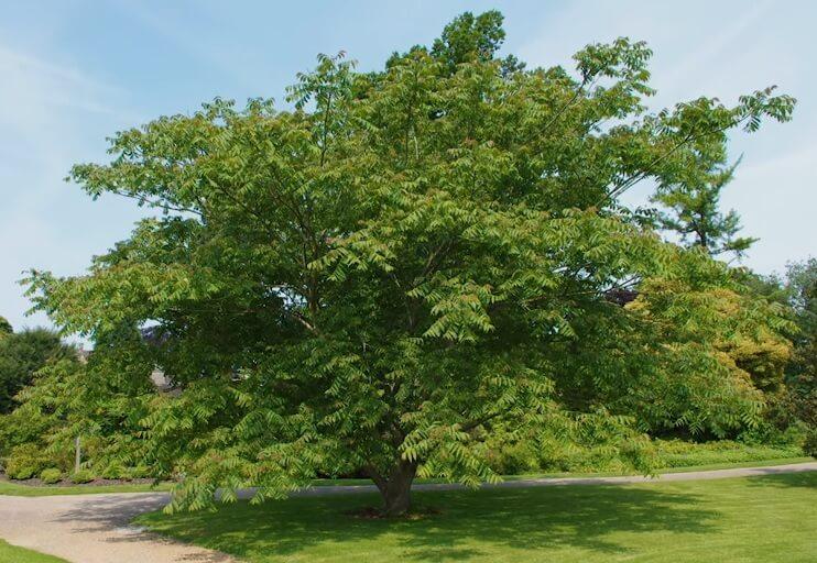 манчжурский орех дерево