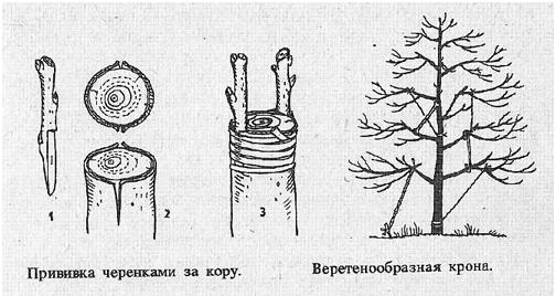 Методы прививки грецкого ореха