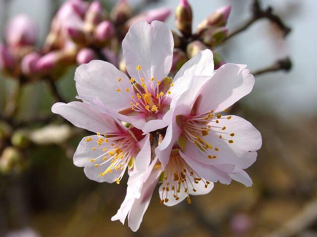 миндальный орех цветение