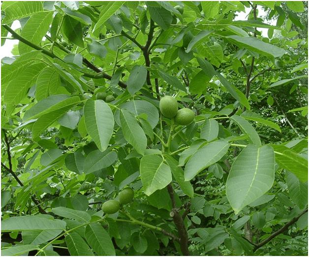 Обычный грецкий орех