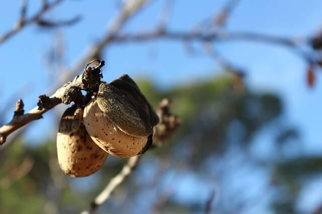 орех миндаль на дереве