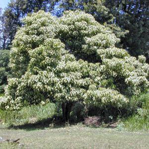 орех кукуи дерево