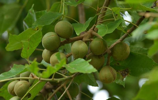 орех кукуи плоды