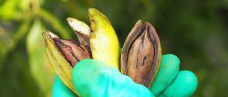 орех пекан (фото)