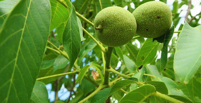 Плод орех