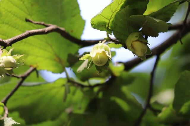 плоды фундука