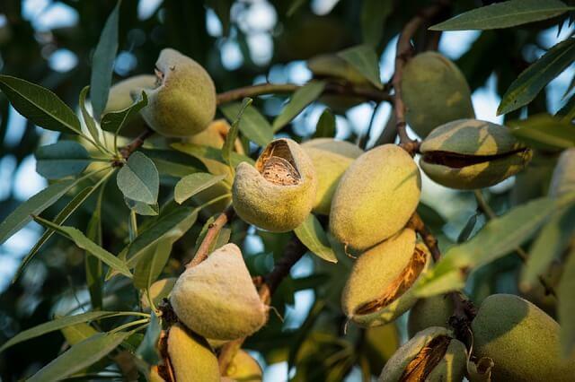плоды миндального ореха