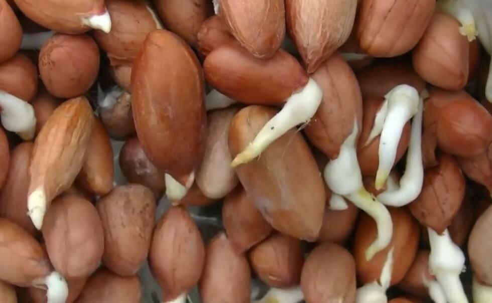 посадка земляного ореха