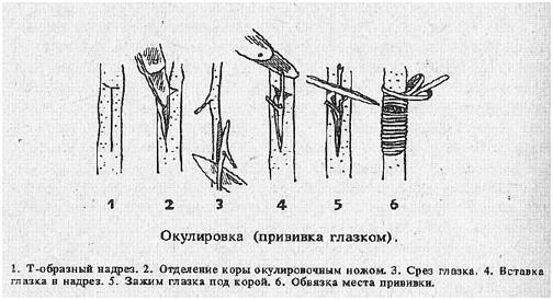 Прививка грецкого ореха