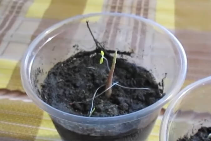 прорастание грецкого ореха