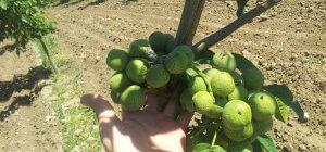 уход за грецкий орехом весной